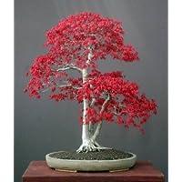 Fächerahorn Samen, Japanischer Ahorne 'Kleines Blatt' 5 Samen (Acer Palmatum) Japanese Maple Small Leaf