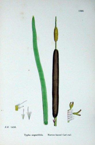 La Botanique Plante le Typha Étroit-Leaved de la Fléole Des Prés C1902