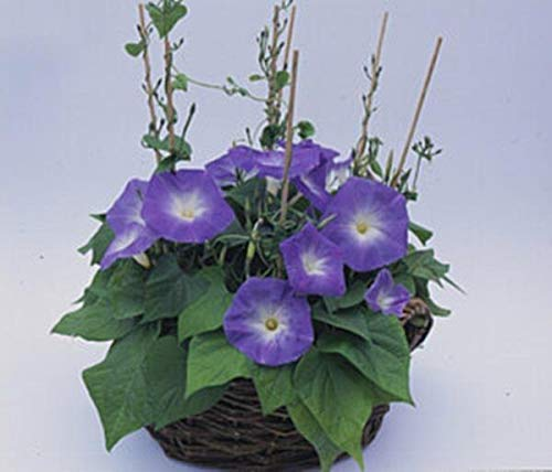 Pase Seeds Morning Glory Ipomoea Heavenly Blue Annual Seeds -