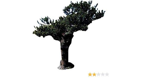 HIMALAYA-ZEDER !i winterharter frostharter Garten Bonsai Baum Saatgut Samen i