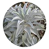 GBAIRIY samen 200 Stücke Weißer Salbei Samen Heilige Salvia Apiana Zeremonielle Aromaten Pflanze Decor