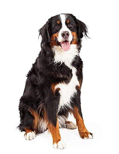 Hunde Sticker Aufkleber Berner Sennenhund -