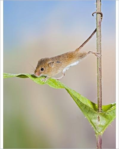 photographic-print-of-harvest-mice-on-teasel-using-tail-to-cimb