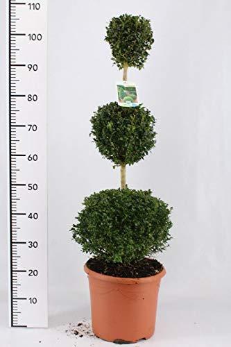 Buchsbaum 3er Kugel, Höhe: 110-120 cm, Bonsai, Buxus Formschnitt + Dünger