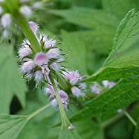 Leonurus cardiaca (Motherwort) seeds