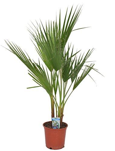 Blumen-Senf washingtonia filifera 2-3 Stämme 120-140 cm Arecaceae Palme palmen