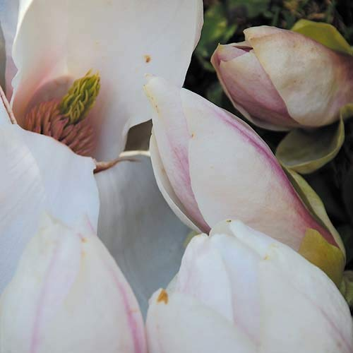 Plant World Seeds - Magnolia Soulangeana Seeds