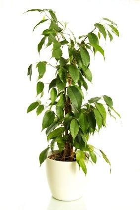 Birkenfeige Ficus benjamina 20 Samen