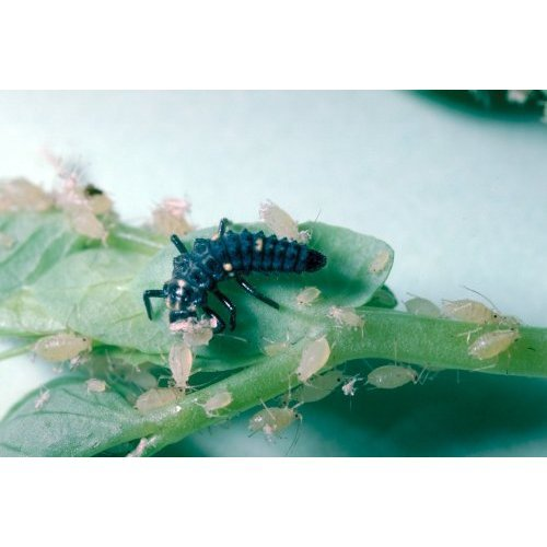 ladybird-larvae-to-control-pests-in-trees-100