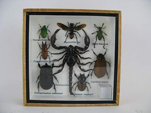 asiahouse24 Echte exotische riesige Käfer, Insekten und Krabbler im 3D Schaukasten aus Holz - A-insekten-s-06 - Taxydermi Vogelspinne Cendipede und Skorpion