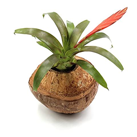 Vases Noix de Coco, Bois, Kokosbraun, 2 unités