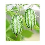 Mexikanische Minigurke - Melothria scabra - Gurke - 10 Samen