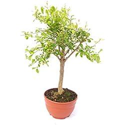 Punica Granatum Bonsai 100-130 cm Granatapfelbaum Obstbaum Obst Apfelbaum Apfel