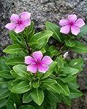 Vamsha Catharanthus roseus, Tiny Periwinkle, Vinca Sadabahar Live Plant