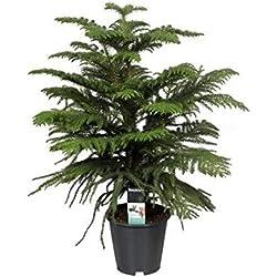 FloraStore - Araucaria Heterophylla (gekammert) 70 cm (1x), Topf 19 CM, Zimmerpflanze