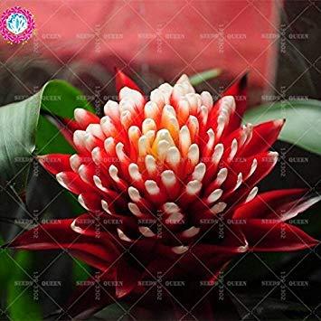 11.11 grande promotion! 50 pcs / lot rare coloré graines de fleurs Torch guzmania Poker usine jardin de bonsaïs et plantes maison Kniphofia 1