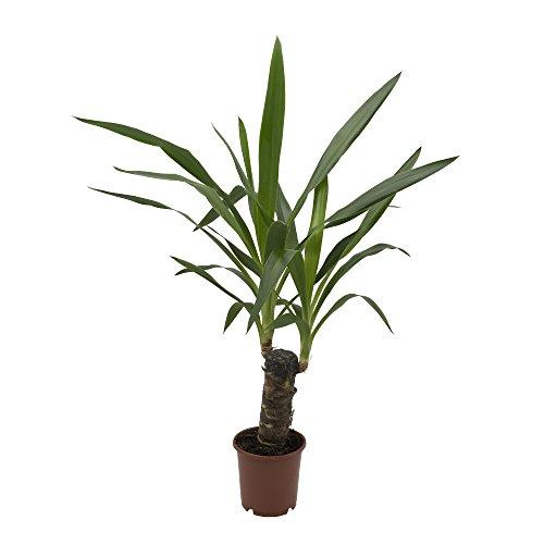 Yucca-Palme, 11cm Topf, 30-50 cm