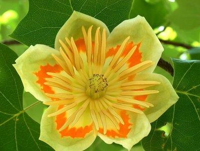 Tulpenbaum Liriodendron tulpifera 10 Samen