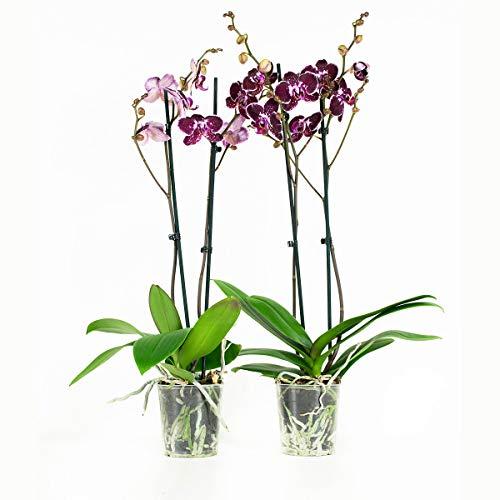 botanicly-orchidee-phalaenopsis-60-cm-set-di-2-piante