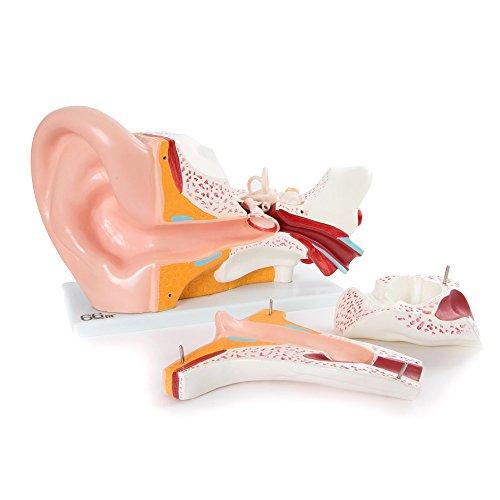 66fit Anatomisches Riesen Ohr Modell - medizinische Ausbildungshilfe - 7