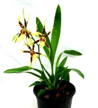 Mühlan Orchideen 1955