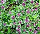 Bobby-Seeds Kräutersamen Quendel-Feldthymian Portion