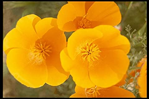 514022 California Poppies In Full Bloom A4 Photo Poster Print 10x8