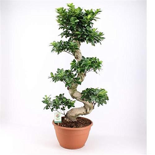 Bonsai Ficus microcarpa Ginseng 140 cm/S-Form Chinesische Feige
