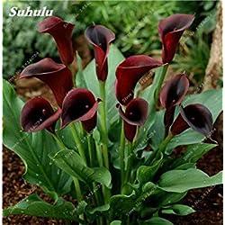 Vista 100 stücke Calla liliensamen Blume liliensamen Indoor Bonsai Pflanze Blumen samen mehrjährige Gartenarbeit DIY einfach wachsen Frau 10