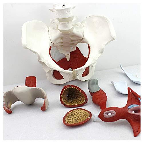 TMIL Anatomía Humana: Modelo De Pelvis Femenina con Órganos Reproductivos Extraíbles Y 2 Vértebras Lumbares, Modelo Anatómico De Músculos Y Órganos, Ayuda Educativa Médica