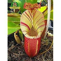 Essen Mosquito Fleischfressende Pflanzen Nepenthes Samen 200pcs/bag Tropische Kannenpflanze Fang Insekt Garten Bonsai Topf Easy Grow 1