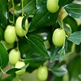 Shopmeeko Heißer Verkauf 10 Teile/los Taiwan Große Jujube pflanzen Honig Süße Termine pflanzen Obstbaum Bonsai Pflanze Diy Garten 2016 Jardin Sement: Grün