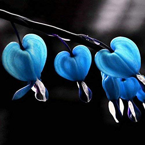 MEIGUISHA Gartensamen-50pcs Tränendes Herz Blutende Herzblume Blumensamen Dicentra Spectabilis Blume Pflanze mehrjährige Kraut samen für Garten Balkon (Blau)