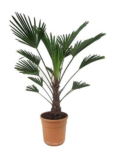 Blumen Senf Trachycarpus Wagnerianus 25 cm - Hanfpalme - Wagner Hanfpalm