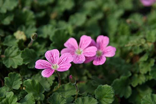 Erodium x variabile 'Bishop' - 2 Pflanzen im 0,5 lt. Vierecktopf