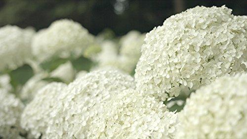 Ballhortensie Hortensie Hydrangea arborescens Strong Annabelle – Incrediball® – RIESIGE Blüten
