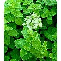 PlenTree 300 Semillas mejorana (Majorana Hortensis) Preparación de alimentos y el uso medicinal-NO OGM