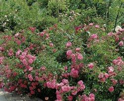 Bodend.Rose 'Palmengarten Frankfurt' -R- ADR, A-Qualität Wurzelware von Rosen-Union bei Du und dein Garten
