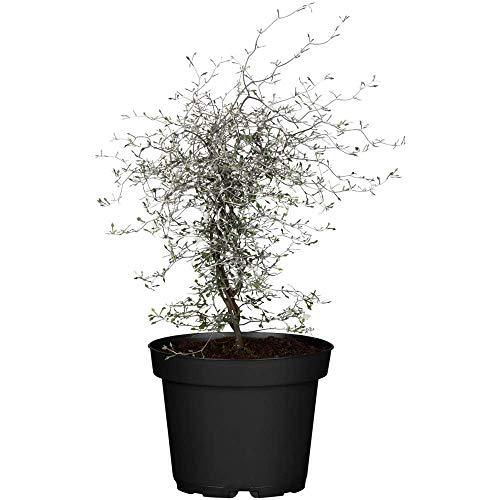 Corokia cotoneaster, Zickzackstrauch - in Gärtnerqualität von Blumen Eber - 12 cm
