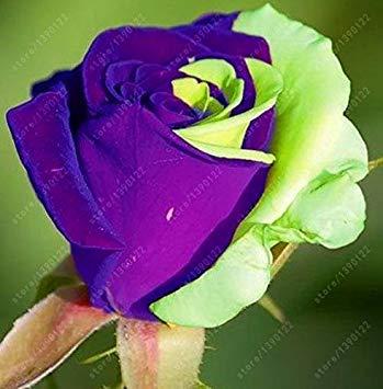 200pcs / sac rare graines rose multi-couleur rose graines de fleurs bonsaï graines bonsaïs noir rose plante rare balcon pour le jardin à la maison 18 en pot