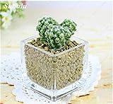 Gran venta ! 150 PC Mini suculentas de Semillas Semillas de cactus flor de piedra Lithops Pseudotruncatella de semillas para jardín contra la radiación 7