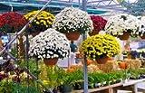 Pinkdose® Blumensamen: Coreopsoides Lanceolata Gartenblumensamen Vögel, die Blumensamen anlocken (20 Pakete) Gartenpflanzensamen von