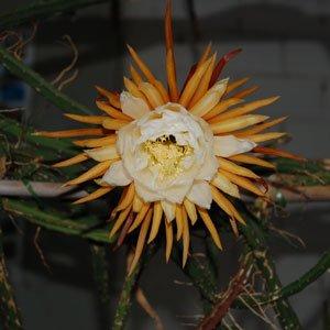 Selenicereus grandiflorus (Königin der Nacht) - Steckling 10 cm von CactusPlaza.com - Du und dein Garten