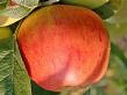 Apfel Rote Goldparmäne Viertelstamm wurzelnackt, 90 cm Stammhöhe inkl. Pflanzschnitt