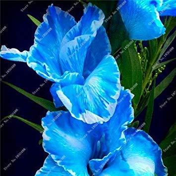 Potseed 2ST Gladiolen Zwiebeln, Gladiole Blume (Nicht Gladiolen Samen) Schöne Blumenzwiebeln Symbolisiert Nostalgie, Hausgarten-Anlage 2