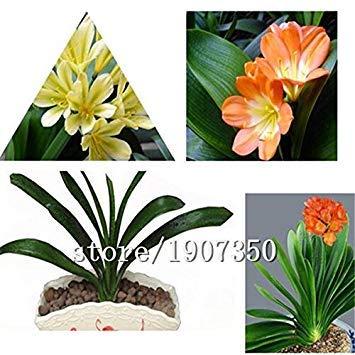 Galleria fotografica Grande vendita di vendita calda 500pcs Clivia Fiore semi bonsai casa fiore di DIY giardino