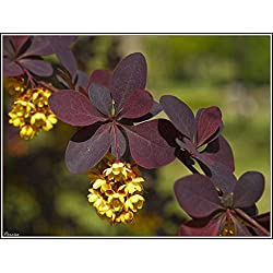 Portal Cool 15 Samen Red Berberitze (Berberis vulgaris)