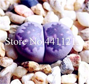 200 PC/Los Mischung Lithops Bonsai Mix Sorten Sukkulente Pflanze Sukkulente Bonsai Home Garten Ornament Topf Heim & Garten: 15 -