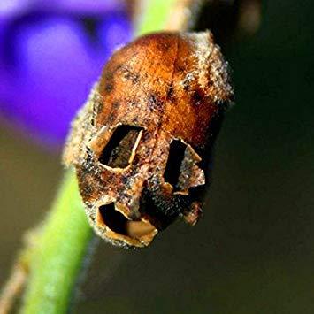 Homely 100 Pcs/Sac Rare Squelette Poisson Rouge Herbe Gousses Fleur Graines Jaune Orchidée Rose Portefeuille Feuillage Graines Bonsaï Arbre Pour La Maison Jardin 03