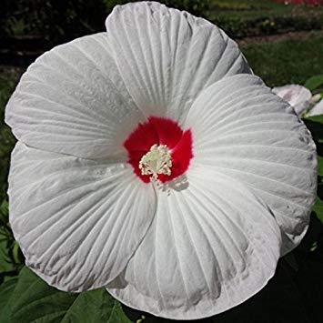 lune de miel hibiscus blanc des yeux, (10 graines) énormes, exotiques, fleurs, été Bloom à l'automne, froide, vivace